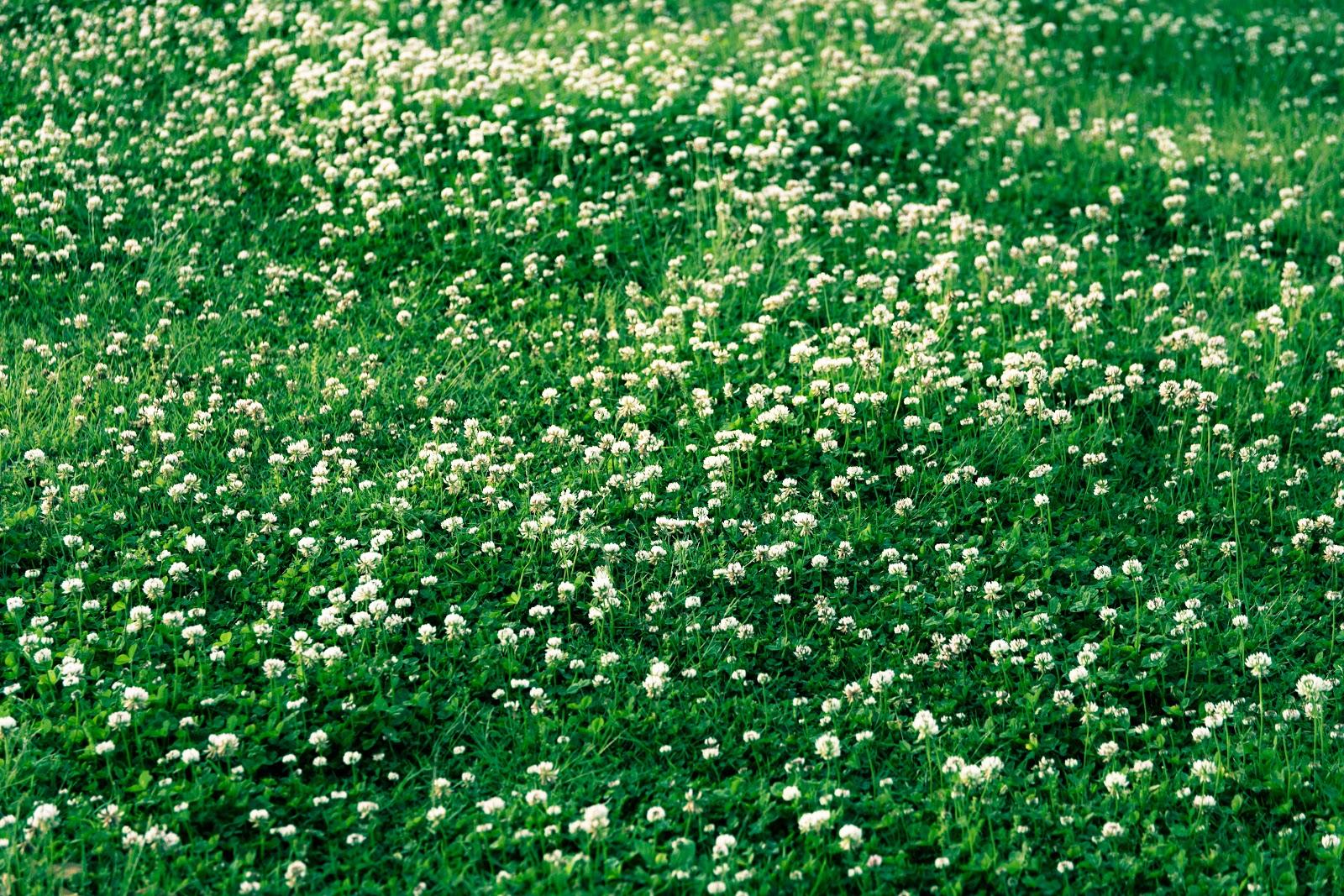 白詰草の大きな集落