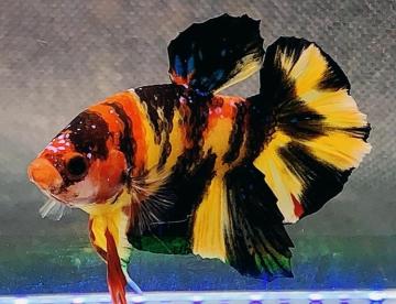 Hal Hal Yang Mempengaruhi Perubahan Warna Ikan Cupang Cupang Sehat