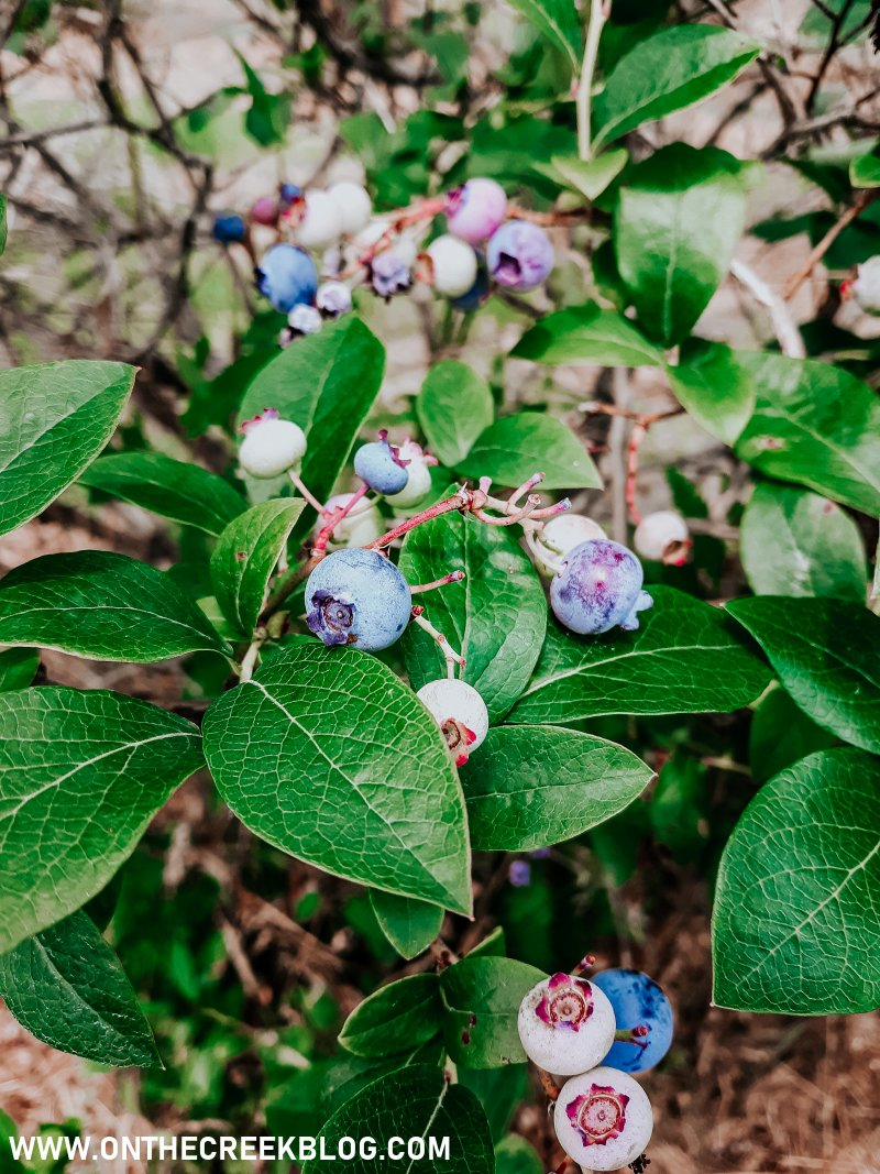 Blueberry picking at a local orchard! | On The Creek Blog