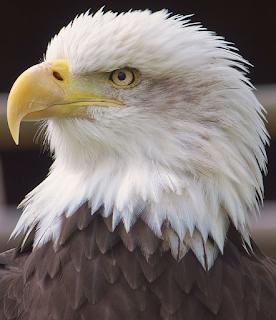 Apa kegunaan paruh burung elang untuk berkembang biak?