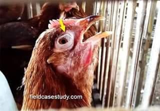 ayam yang terkena penyakit ilt matanya bengkak