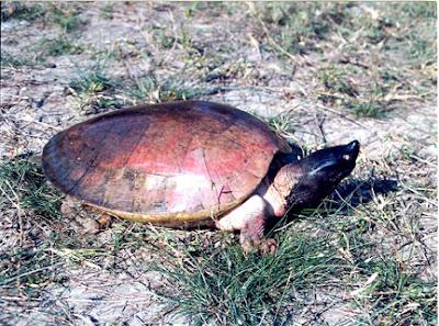 endangered tortoise Batagur