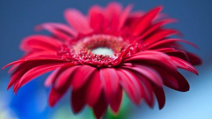 Papel de Parede Linda Flor Vermelha