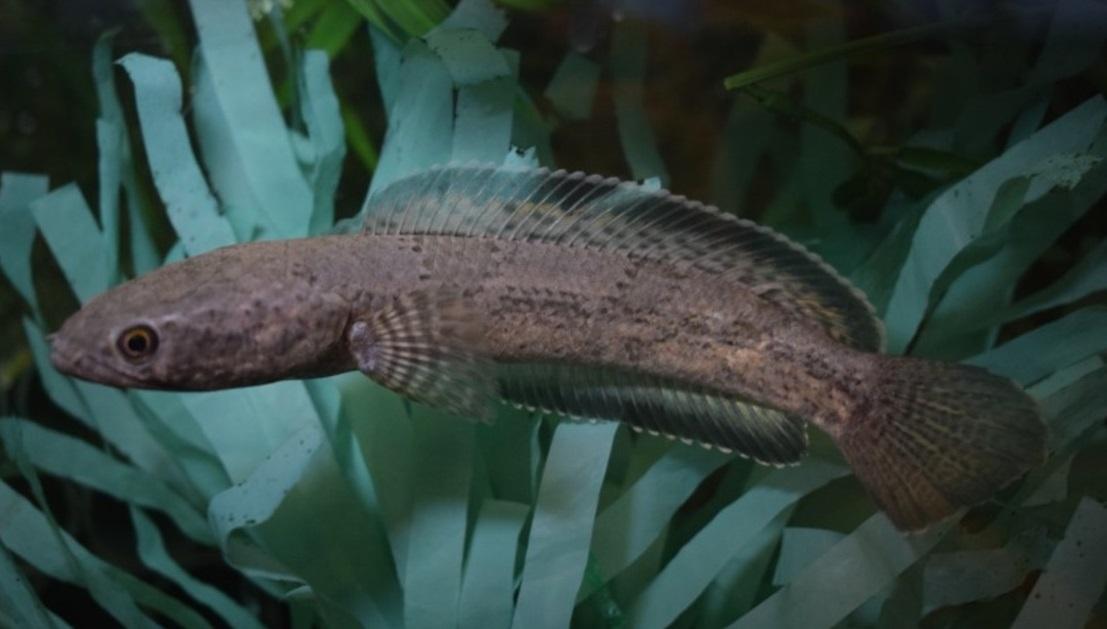 Channa quinquefsciata - 50 Jenis Ikan Channa Lengkap Beserta Harga Terbaru