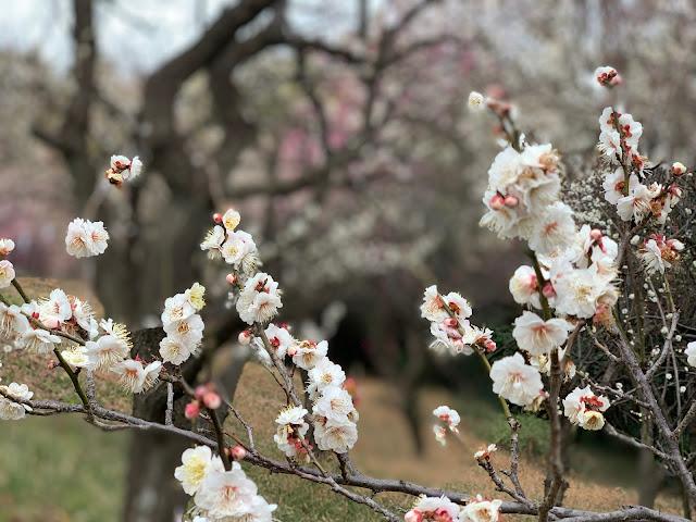 横浜市内で屈指の梅の名所!東方天満宮の梅の木250本が見頃に(開花状況・交通アクセス・駐車場など)