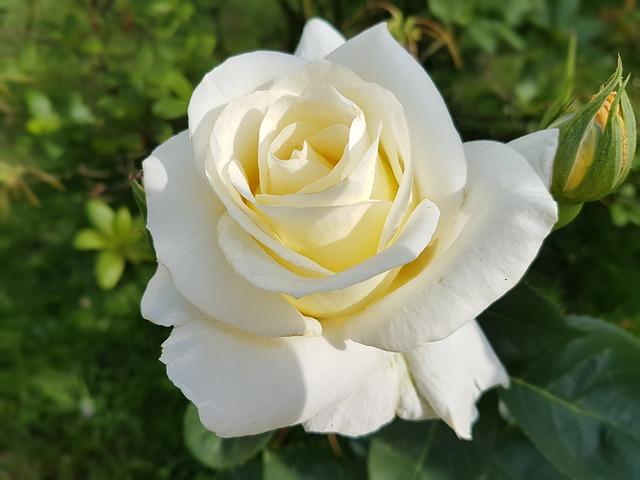 hoa hồng bạch đẹp nhất 2