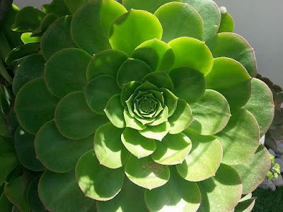 Proporción áurea en la vegetación