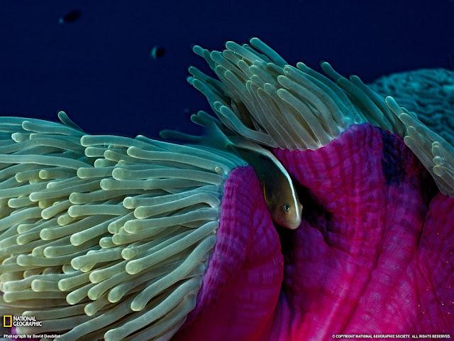 Speckled Amphiprion