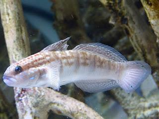 Gobie à bandes brunes - Gobie à taches blanches - Amblygobius phalaena