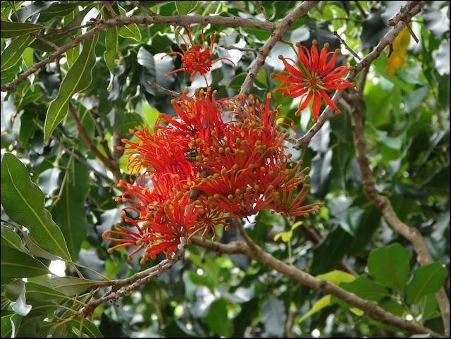 Firewheel%2Btree%2Bflowers.jpg