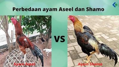 Perbedaan ayam Aseel dan Shamo Dari Segi Fisik