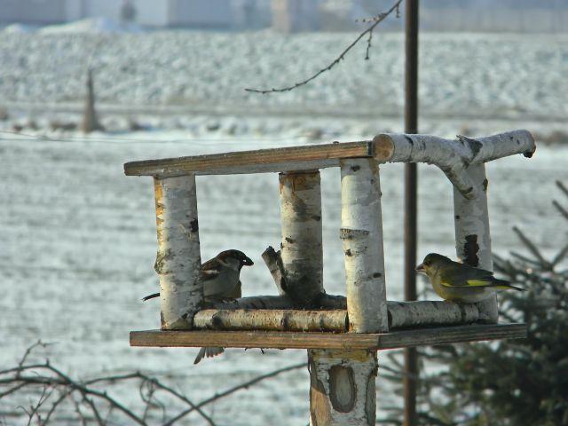 ptaki, dzwoniec, karmnik, zima