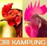 ayam bangkok dengan ciri ayam kampung