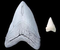 Tamaño diente Megalodón comparada con un diente de tiburón blanco