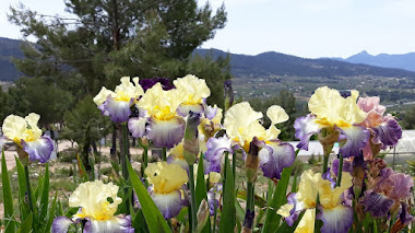 Colección de lirios (Iris) en el Jardín Botánico de Torretes en Alicante