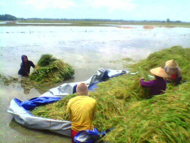 Direndam Banjir, Petani Desa Sejomulyo Juwana, Panen Padi Lebih Awal