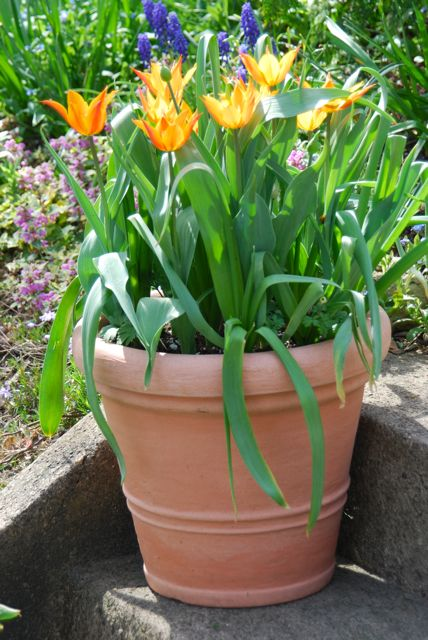 Tulip 'Ballerina' on our front steps this week in Pennsylvania.
