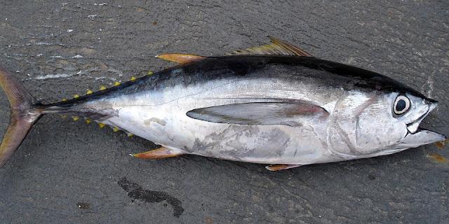 Ikan Tuna | Jenis Ikan Yang Mengandung Protein Tinggi