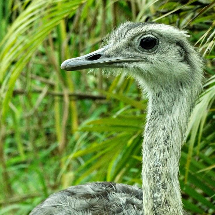 Ema: a maior ave do Brasil