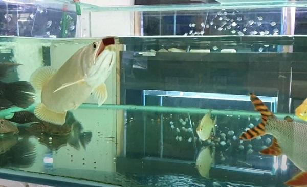 Feeding Australian Arowana
