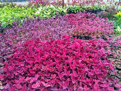 tanaman yg bisa di pansang di vertical garden