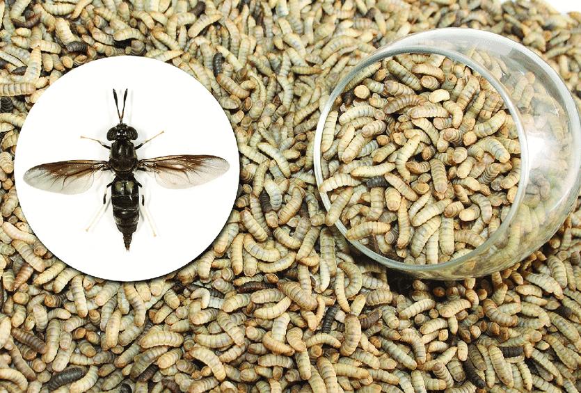 Black Soldier Fly (BSF) Larva