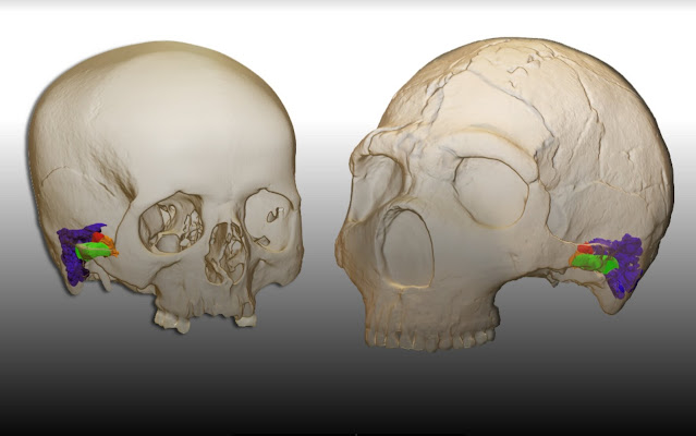 Neanderthals had the capacity to perceive and produce human speech