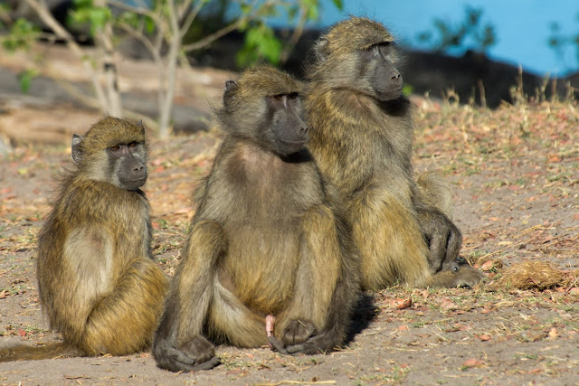 Bigger brains help social primates to make up after a fight, study says