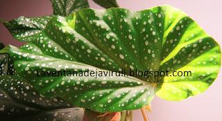 hoja-begonia-corallina-de-lucerna