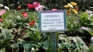 Bunga Gerbera   Si Cantik Dari Afrika Selatan