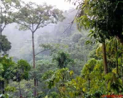 contoh tanaman indo malayan