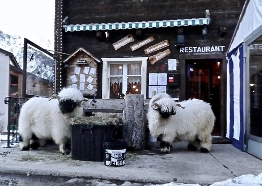 Valais Blacknose sheep outside a pub
