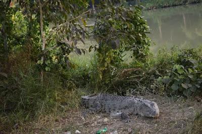A Crocodile at Karamjol in the Sundarbans