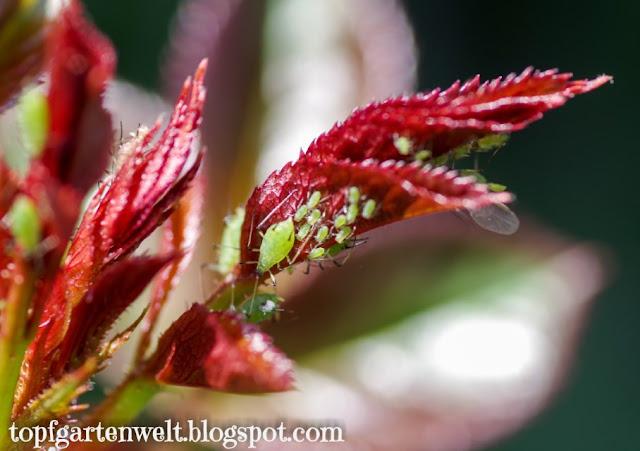 grüne Blattläuse | Befall | Rosen - Gartenblog Topfgartenwelt