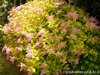 Tawuła japońska (Spiraea japonica)- wygląd, uprawa i pielęgnacja
