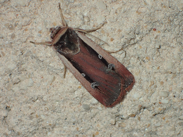 Ochropleura leucogaster