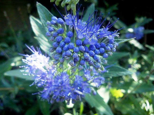 niebieski krzew