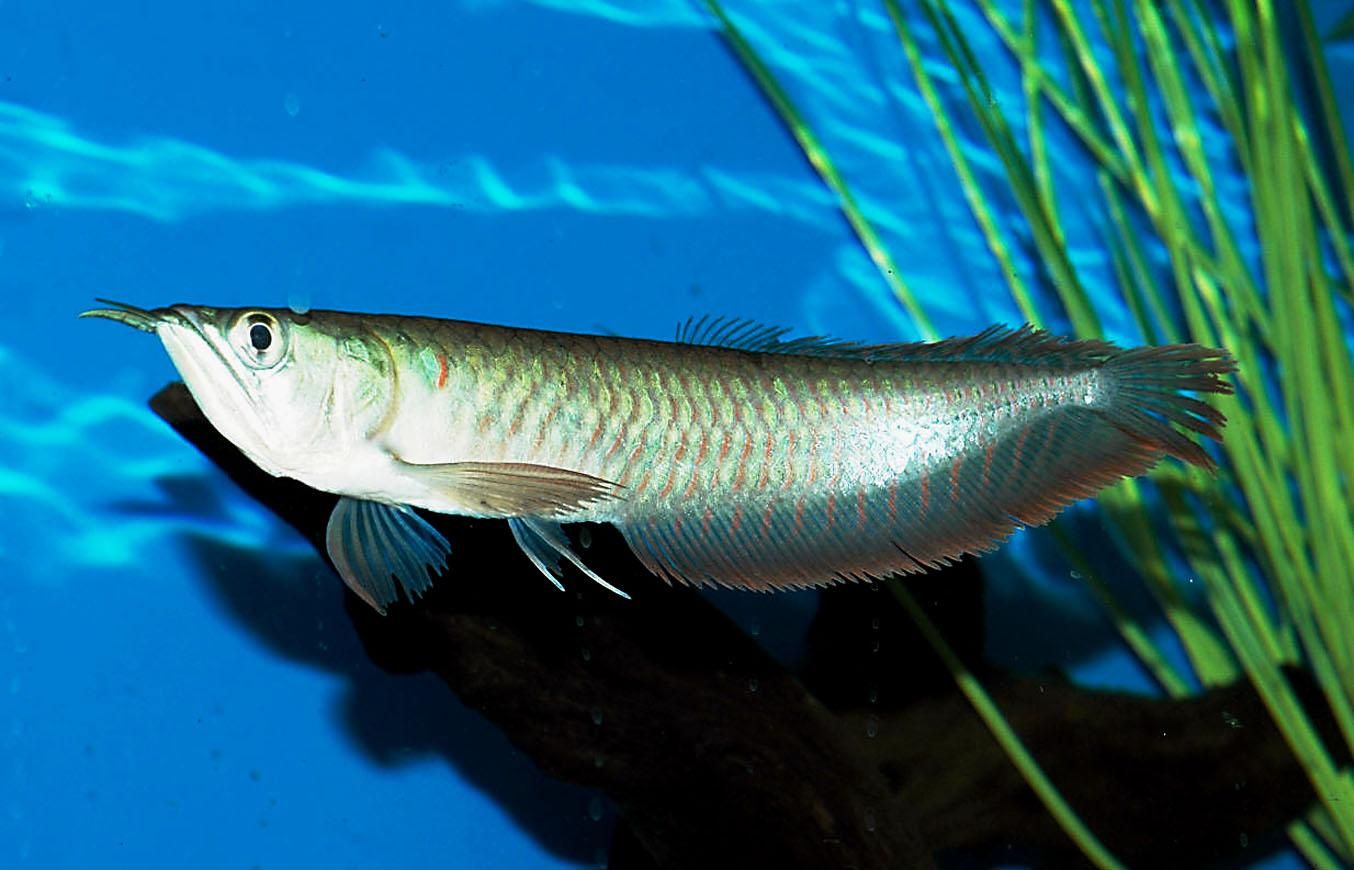 Arowanas in your aquarium fun animals wiki videos for Image of fish