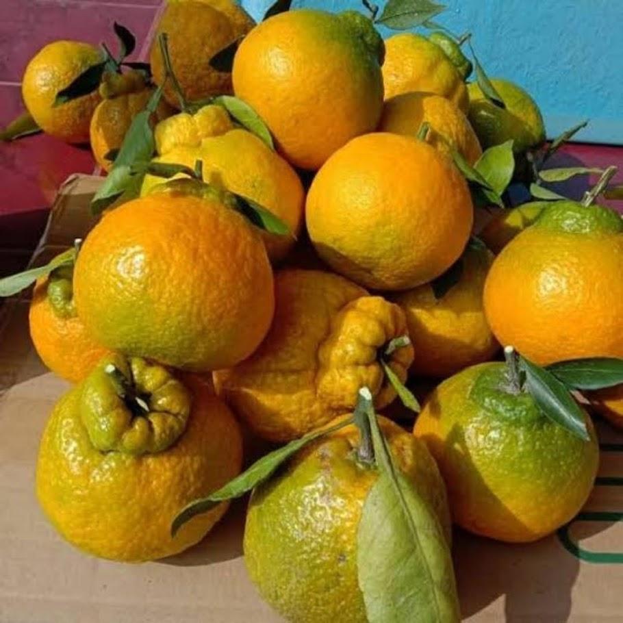 bibit jeruk dekopon unggul Lampung