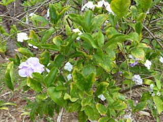 Brunfelsie uniflore - Mercure végétal - Franciscéa - Brunfelsia uniflora - Brunfelsia hopeana