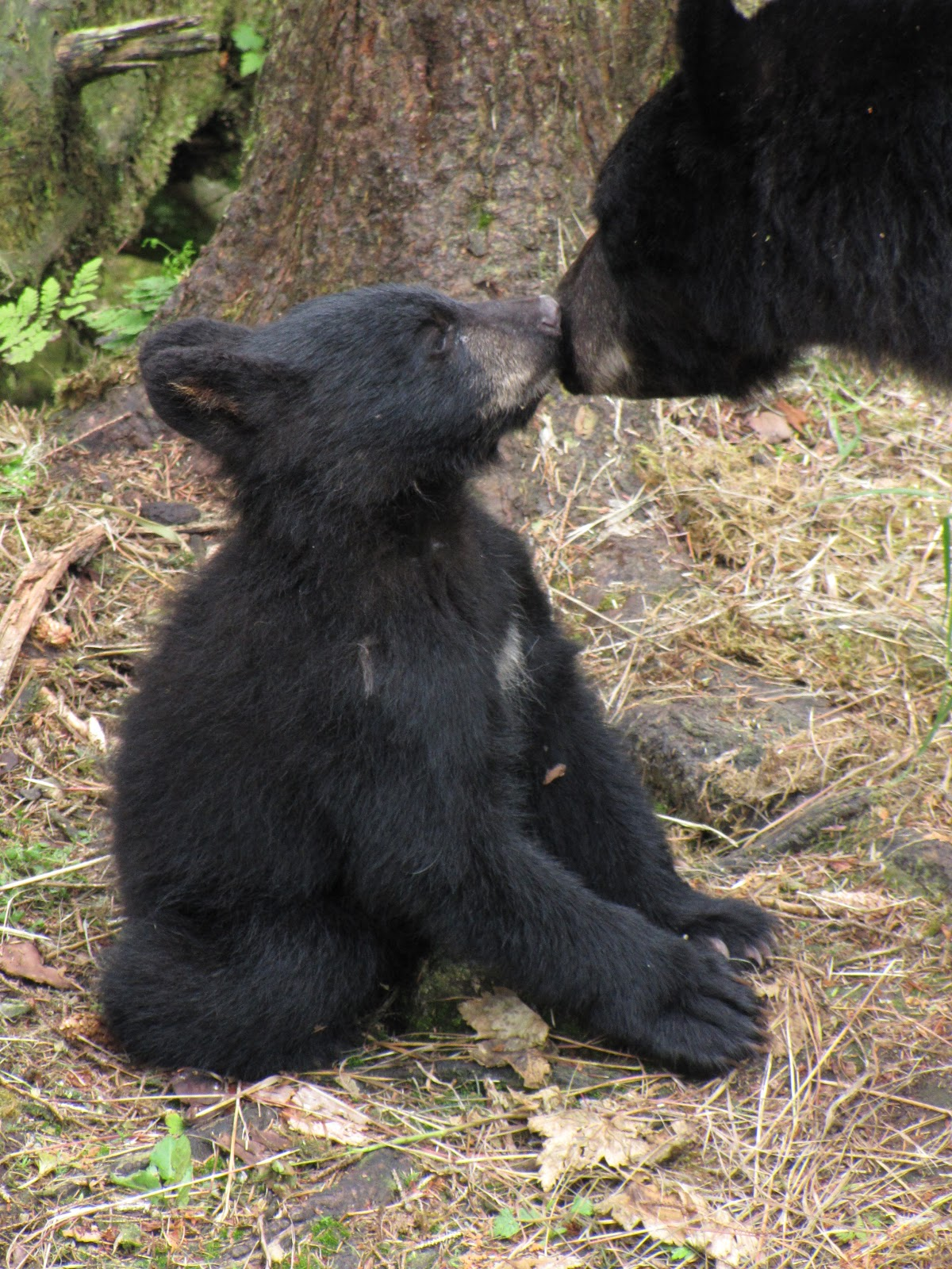 Bears On The Tongass Bear Viewing Is Heating Up At The Anan Wildlife Observatory