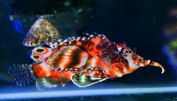 Fu Manchu Lionfish tại S.E.A Aquarium