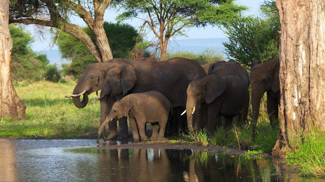 Africa's elephant poaching rates in decline, but iconic animal still under threat