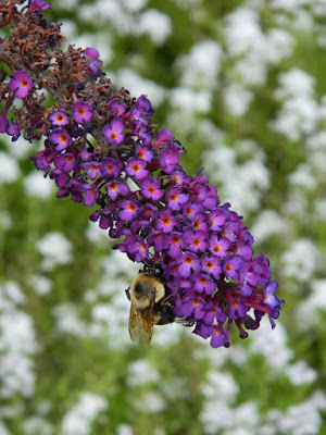 Buddleia Nanho Purple butterfly bush at Toronto Botanical Garden by garden muses-not another Toronto gardening blog