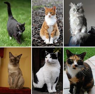 Asal - Usul Kucing Lengkap Beserta Gambarnya
