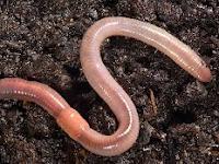 Pengertian Annelida, Reproduksi, Ciri-ciri, Sistem Organ, Klasifikasi dan Peranannya bagi Manusia.