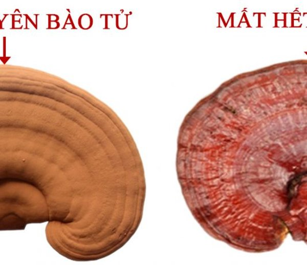 Chọn nấm linh chi còn nguyên lớp bào tử bao phủ (ảnh trái)