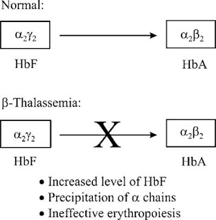 Maturation of hemoglobin