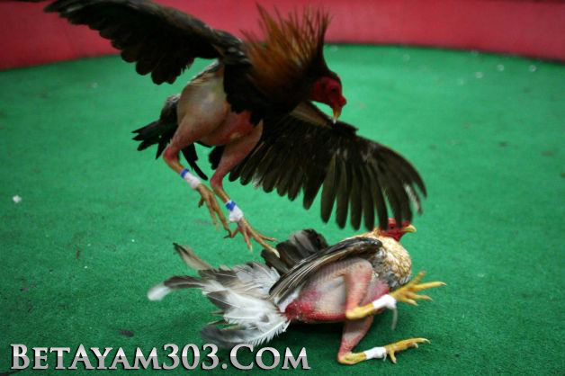 Sabung Ayam Live, Sabung Ayam S128, Ayam Filipina,