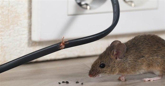 Evde fare olduğu nasıl anlaşılır?